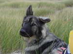 American Alsatian in the field