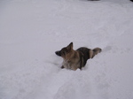 American Alsatian in the snow