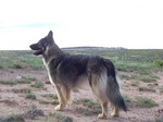 American Alsatian in the steppe