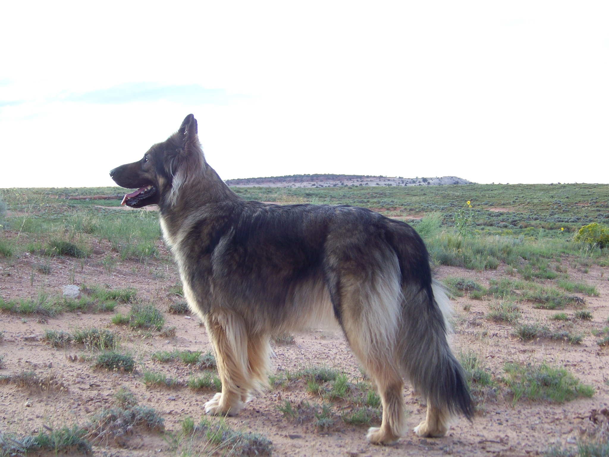 American Alsatian in the steppe wallpaper