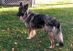 American Alsatian in the yard