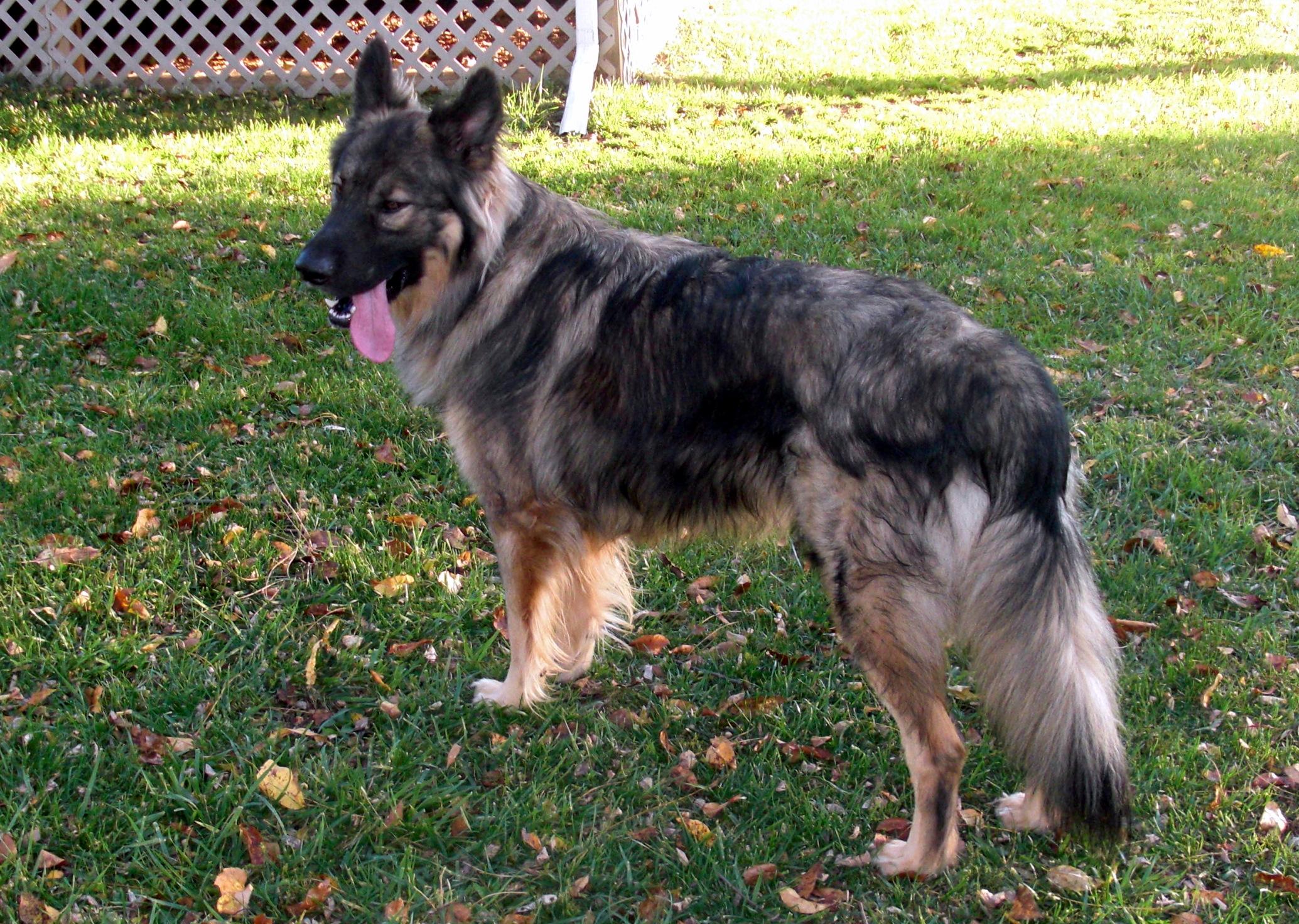 Американская эльзасская собака во дворе фото