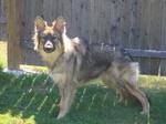 Американская эльзасская собака смотрит на фотографа