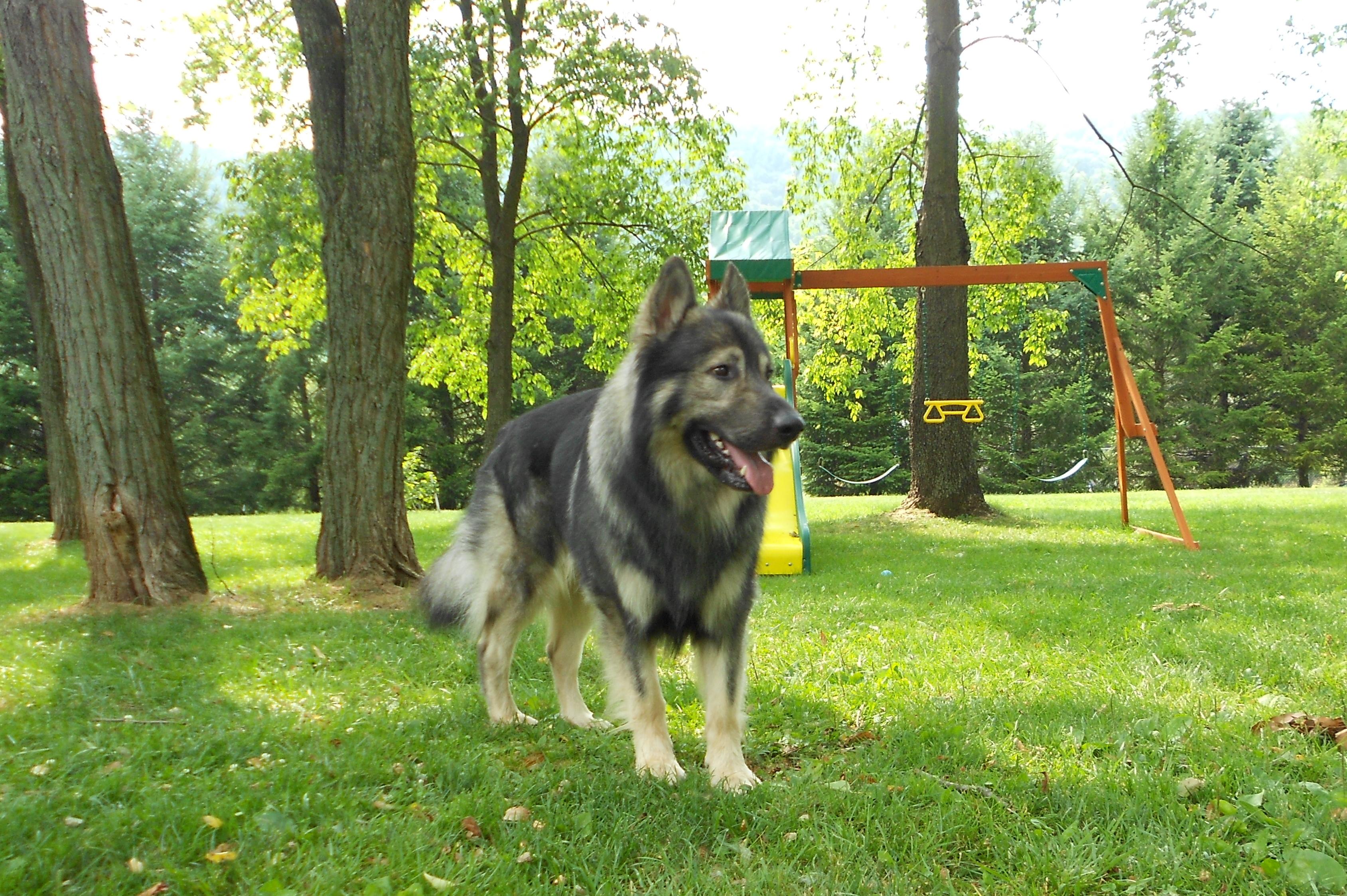 Американская эльзасская собака на детской площадке фото