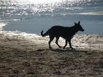 American Alsatian on the seaside
