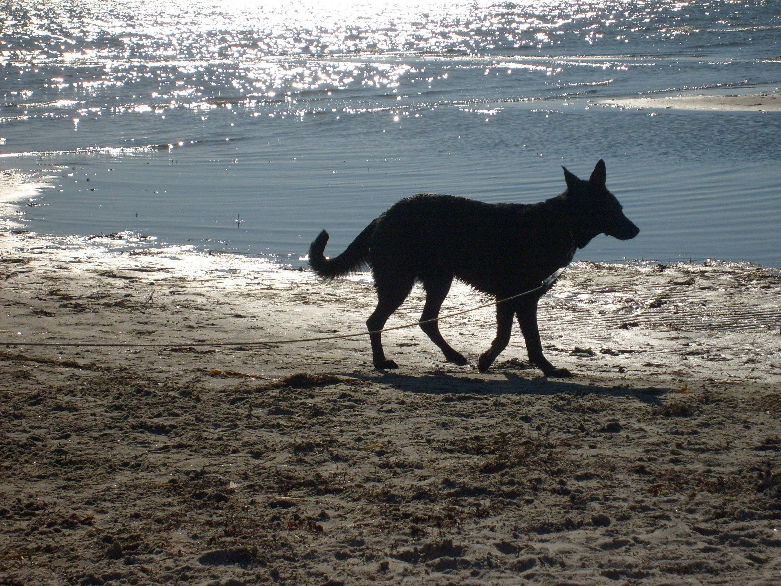 Американская эльзасская собака на берегу моря фото