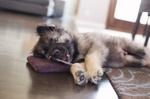 American Alsatian puppy
