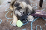 American Alsatian puppy with a toy