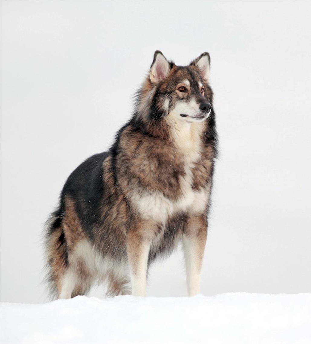 Американская эльзасская собака Сэмми фото