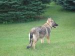 Американская эльзасская собака Такер