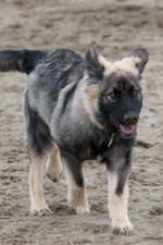 American Alsatian walking on the sand