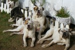 American Bulldog dogs at the fence