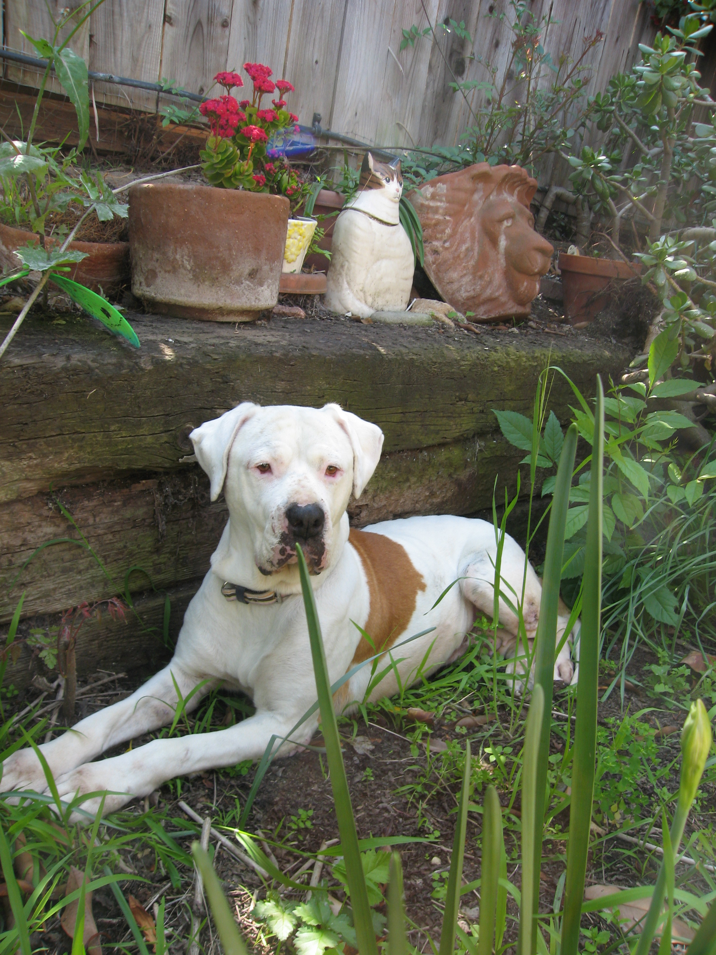 American Bulldog in the yard wallpaper