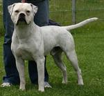 American Bulldog with master