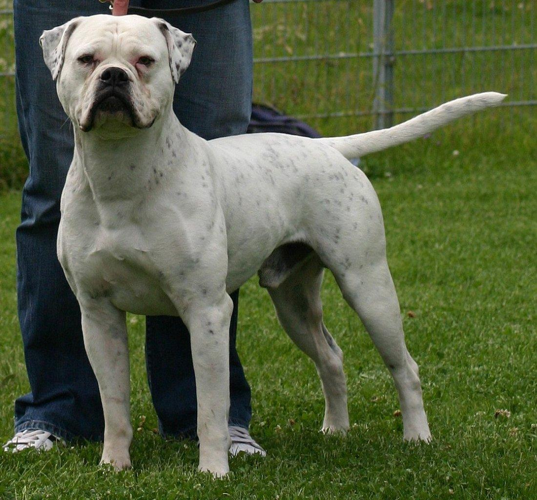 American Bulldog with master wallpaper