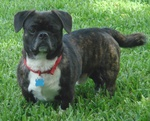 American Bullnese dog