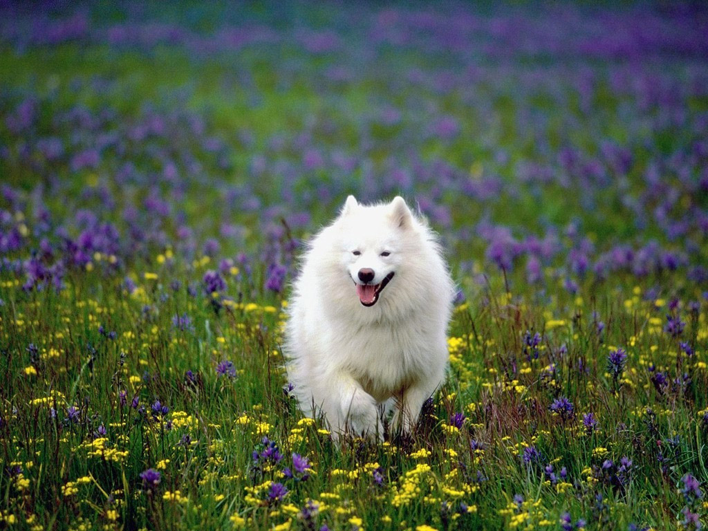 American Eskimo Dog in the field of flowers wallpaper