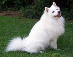 American Eskimo Dog on the grass