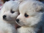American Eskimo Dog puppies faces