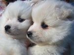 Морды щенков американского эскимосского шпица