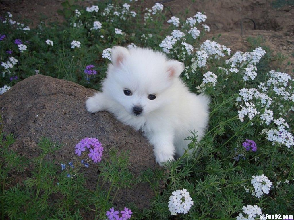 American Eskimo Dog puppy wallpaper