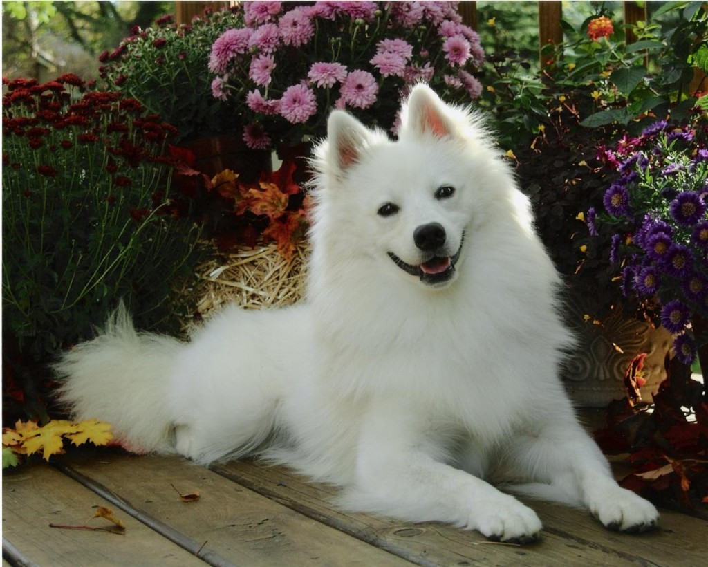 American Eskimo Dog resting in the garden wallpaper