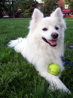 American Eskimo Dog with a ball