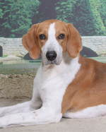 American Foxhound dog portrait