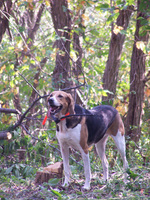 American Foxhound in the forest
