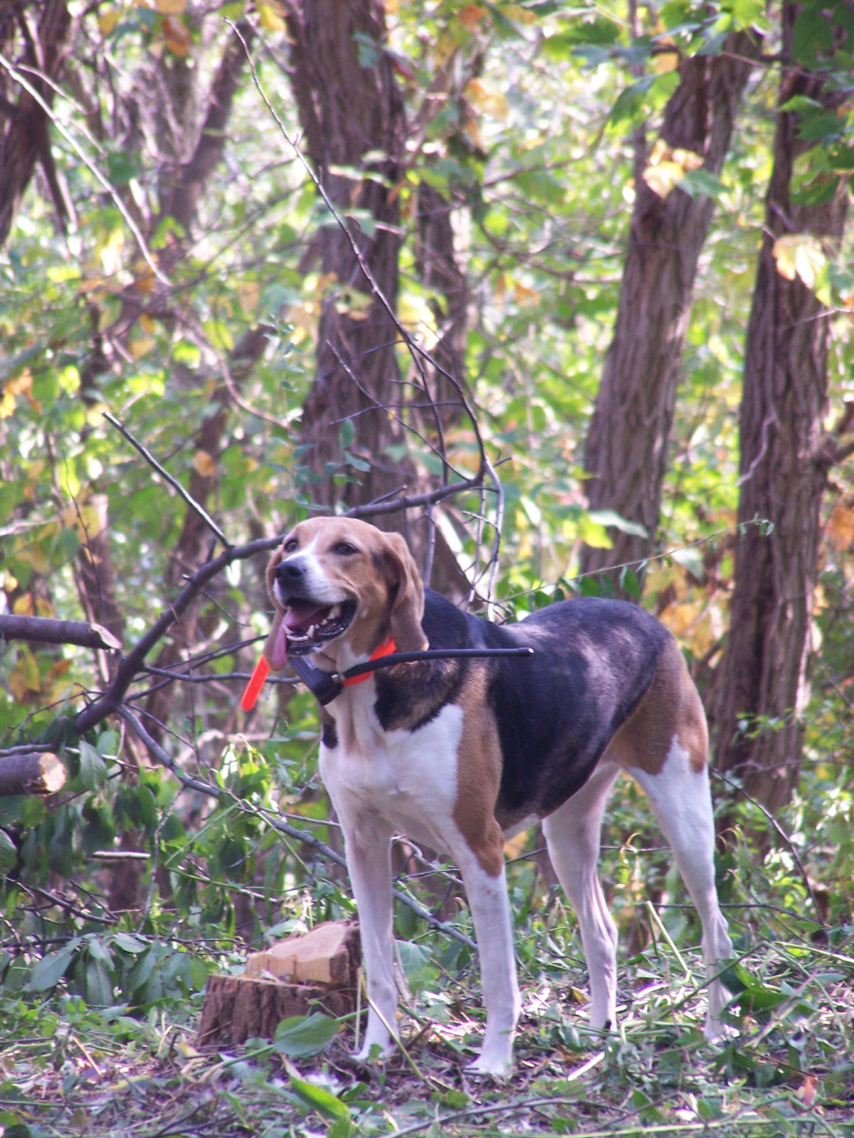 American Foxhound in the forest wallpaper