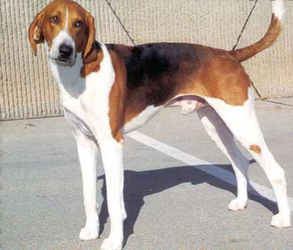 American Foxhound wallpaper