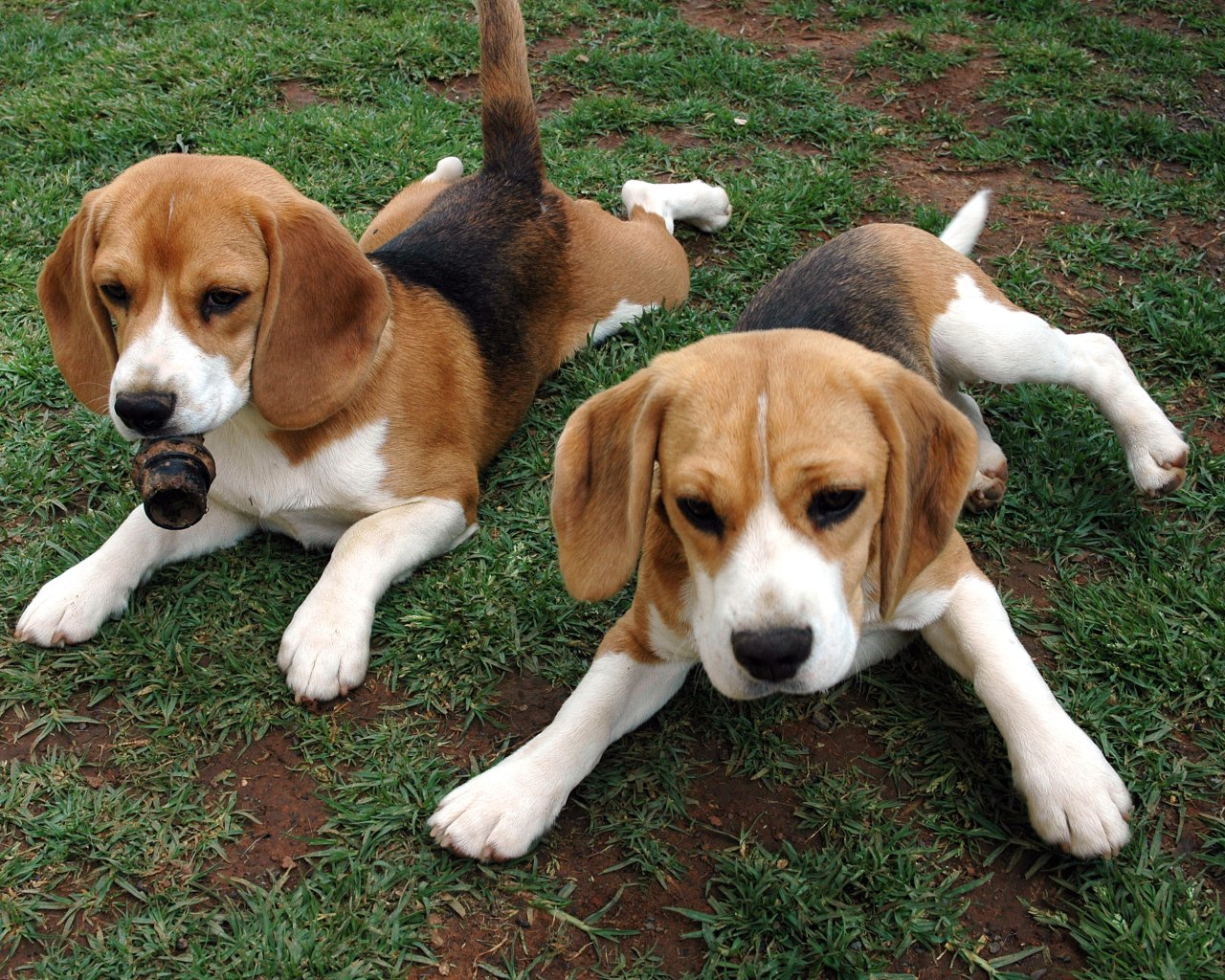 American Foxhound puppies wallpaper