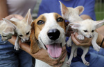 American Foxhound with puppies
