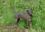 American Hairless Terrier in the grass