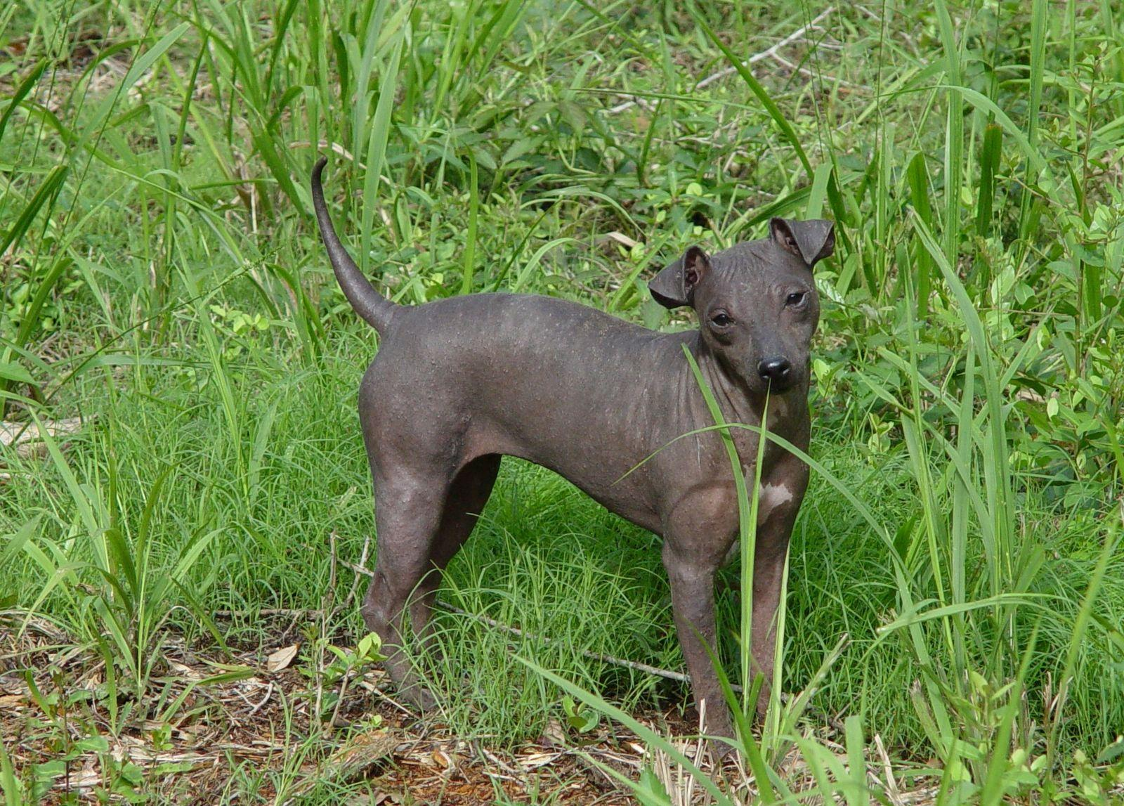 American Hairless Terrier in the grass wallpaper