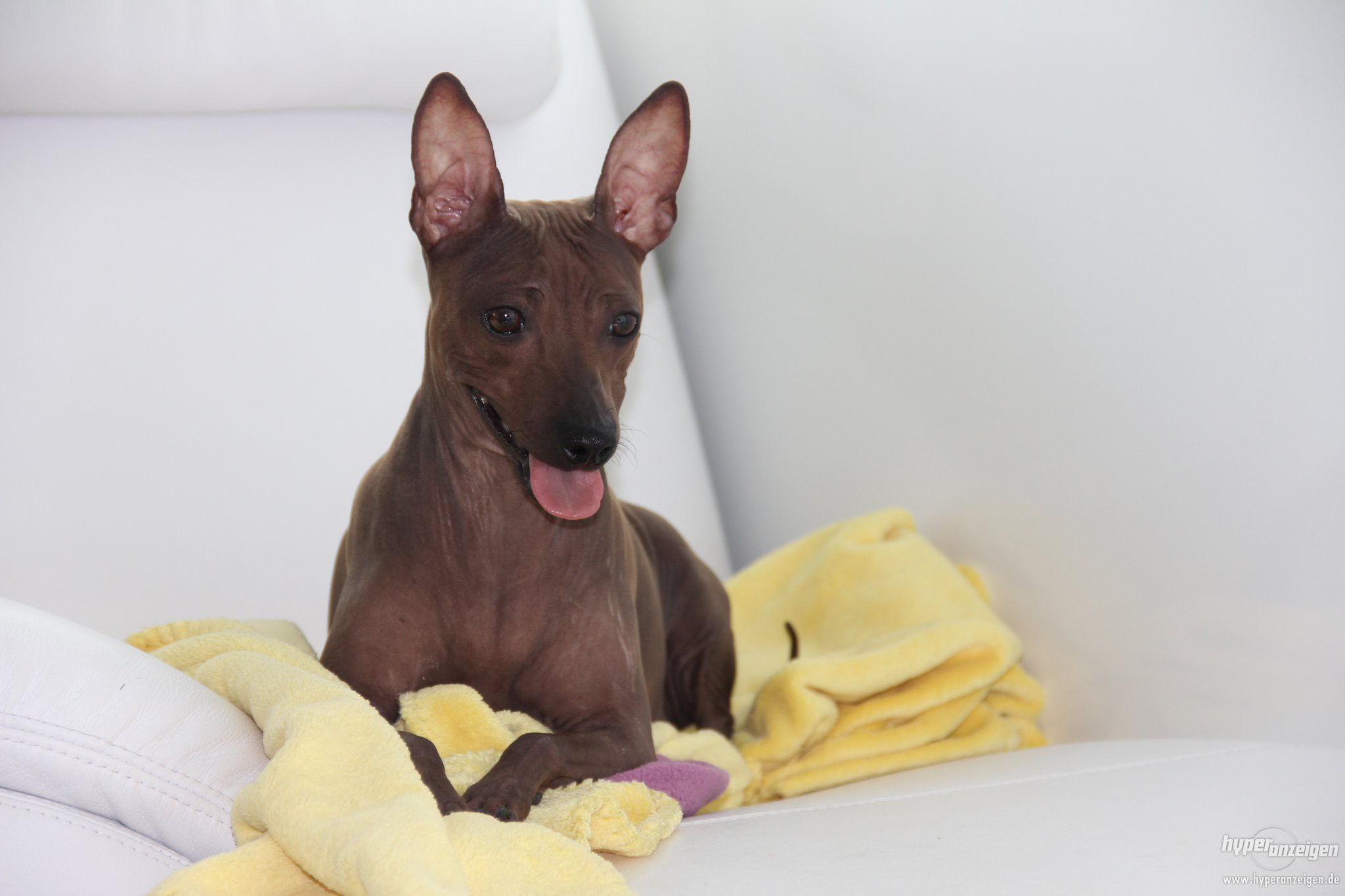 American Hairless Terrier on the couch wallpaper