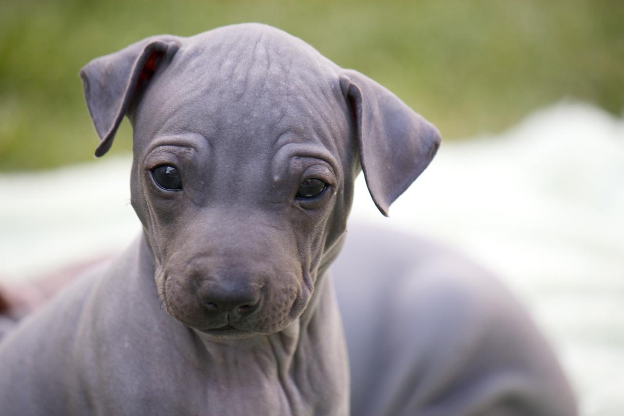 American Hairless Terrier puppy face wallpaper