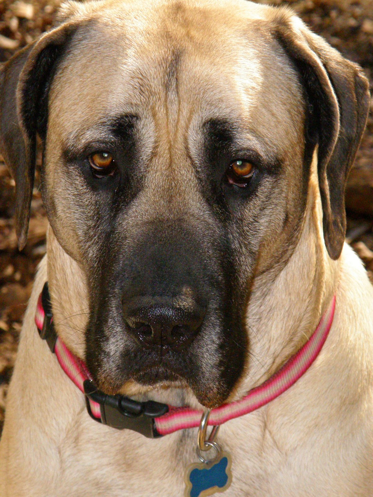 American Mastiff dog face wallpaper