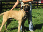American Mastiff dog with his owner