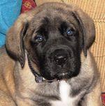 American Mastiff Jake