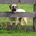 American Mastiff on the farm