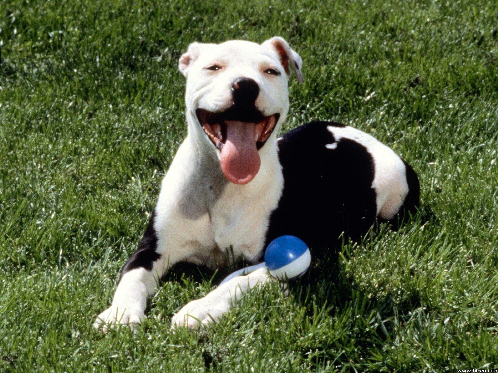 American Pit Bull Terrier with a ball wallpaper
