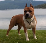 American Staffordshire Terrier at Lake