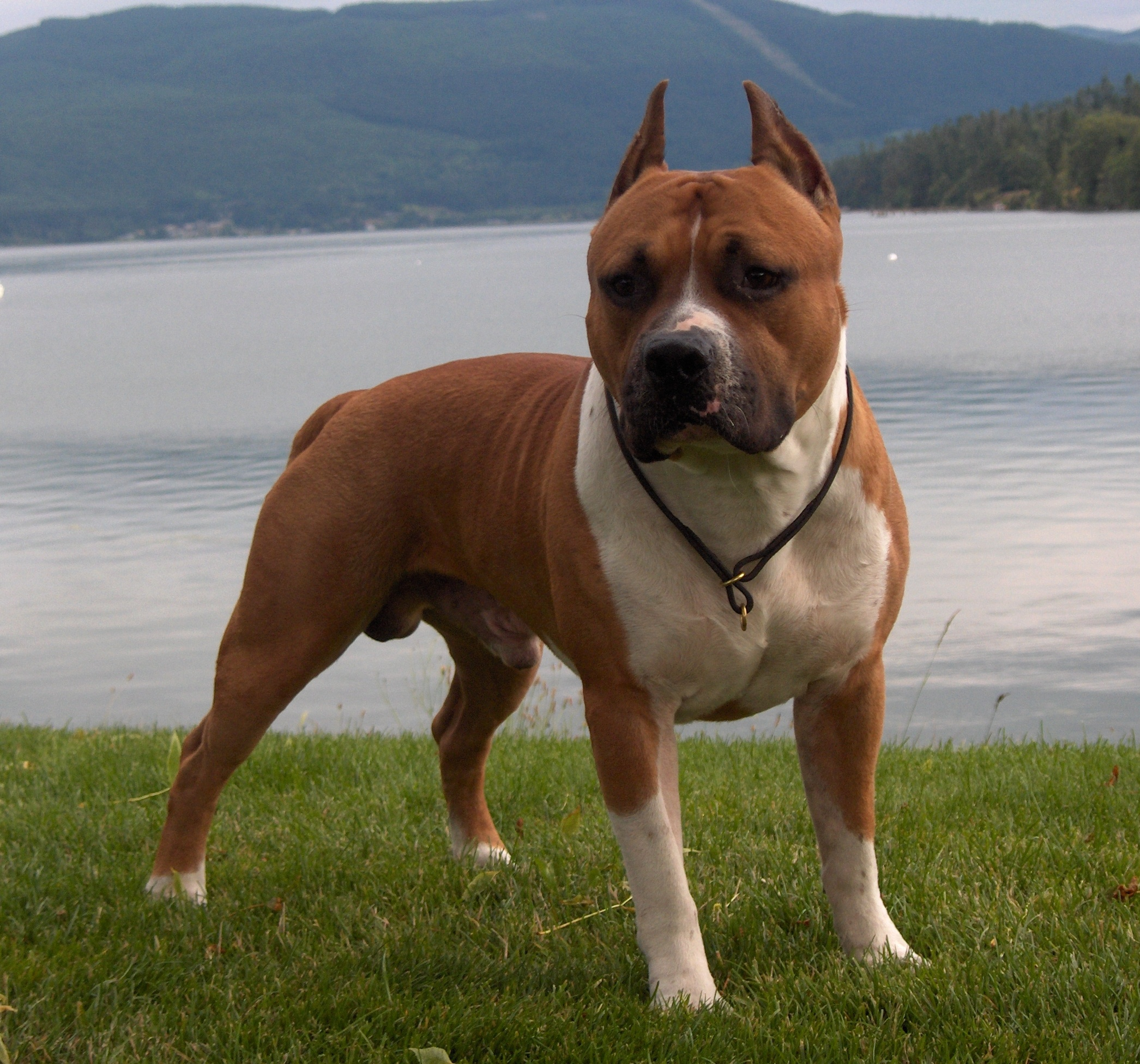 American Staffordshire Terrier at Lake photo and wallpaper. Beautiful