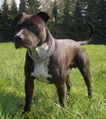 American Staffordshire Terrier Jack