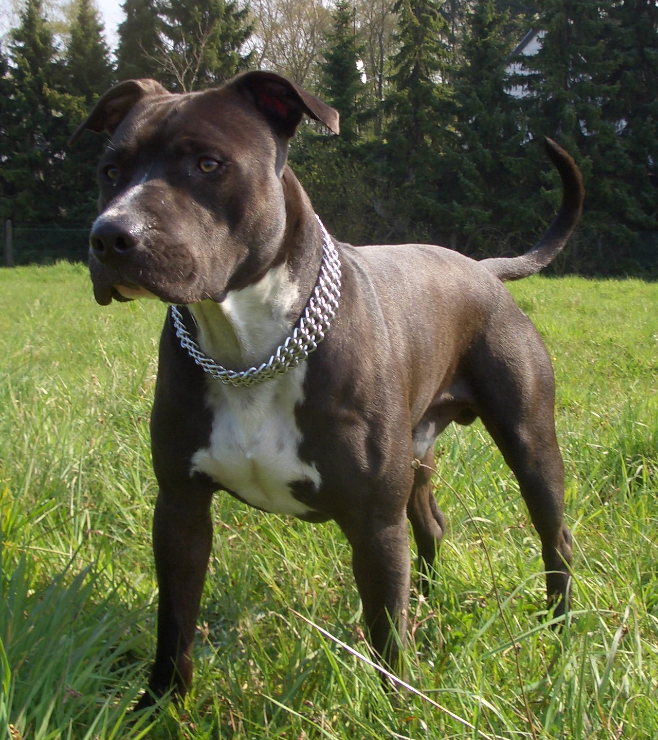 American Staffordshire Terrier Jack photo and wallpaper. Beautiful ...