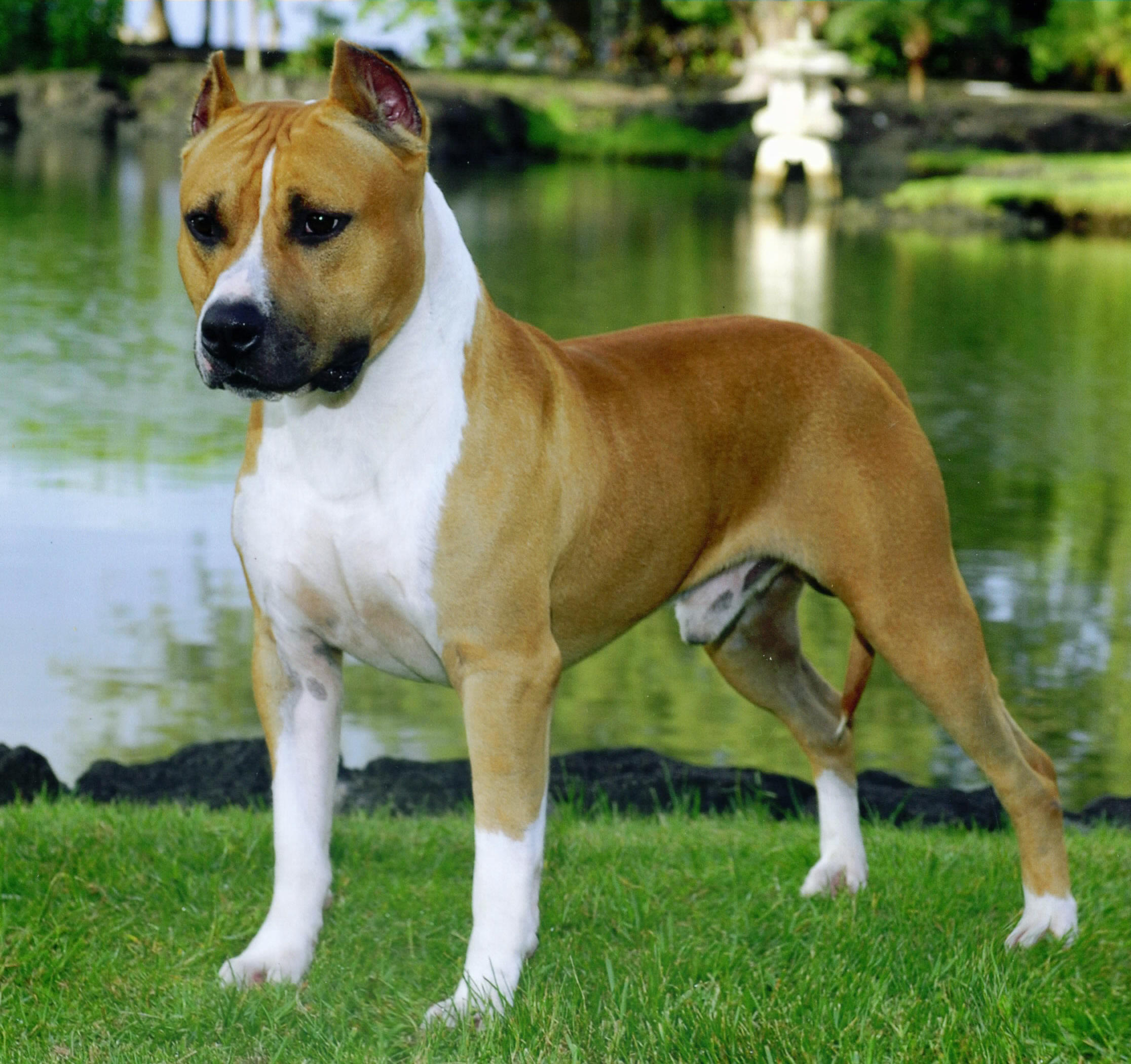 American Staffordshire Terrier on the lake wallpaper