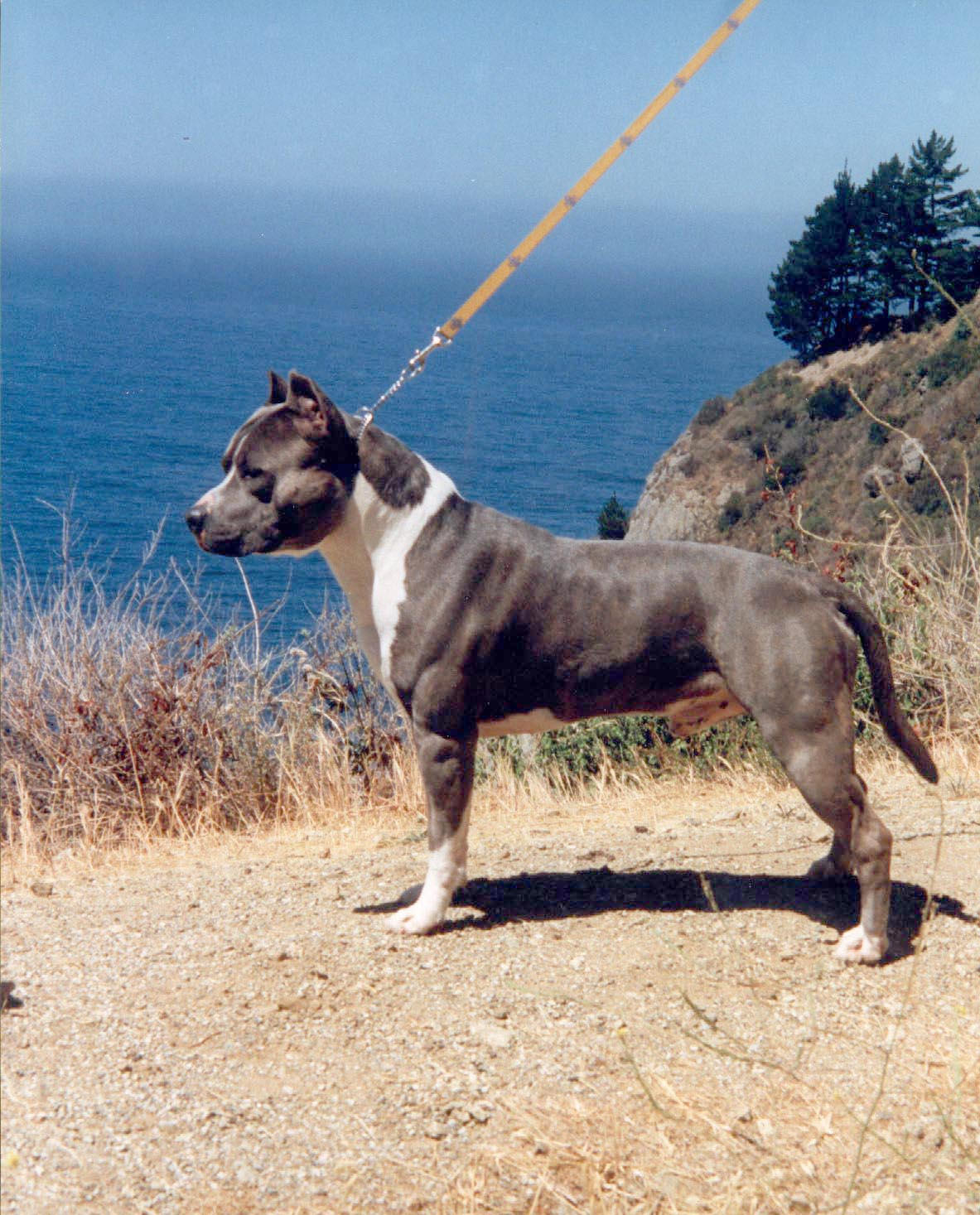 Add photos American Staffordshire Terrier on the seaside in your blog: