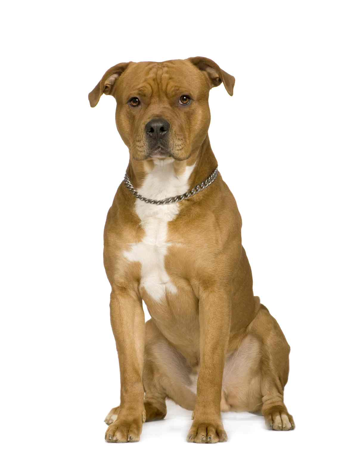 American Staffordshire Terrier portret wallpaper