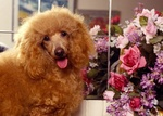American Water Spaniel and flowers
